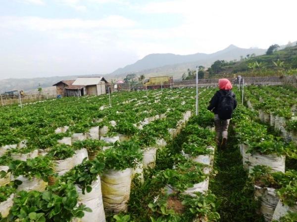Kebun Strowberry - Sarangan - Magetan